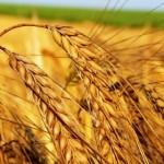 зерна, урожай